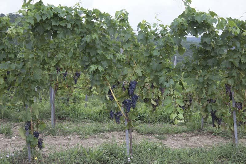 Плантации винограда